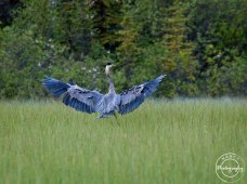 Great Blue Heron landing in the marsh - Nancy Cunningham