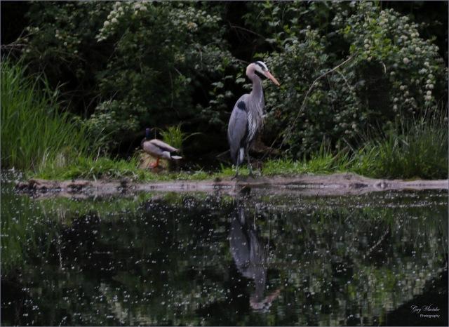 Heron with Mallard