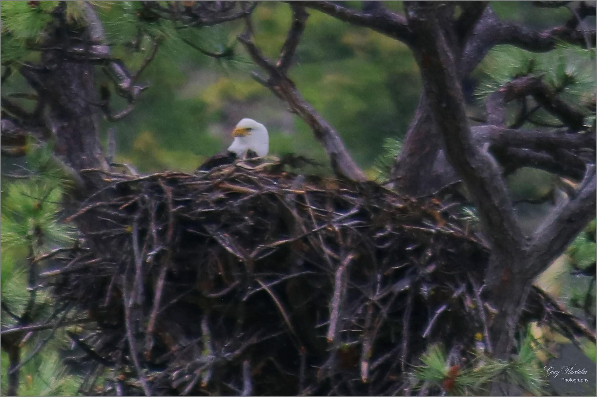 Nesting Eagle- Missezula Lake