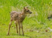 New Born Fawn - DMHopp