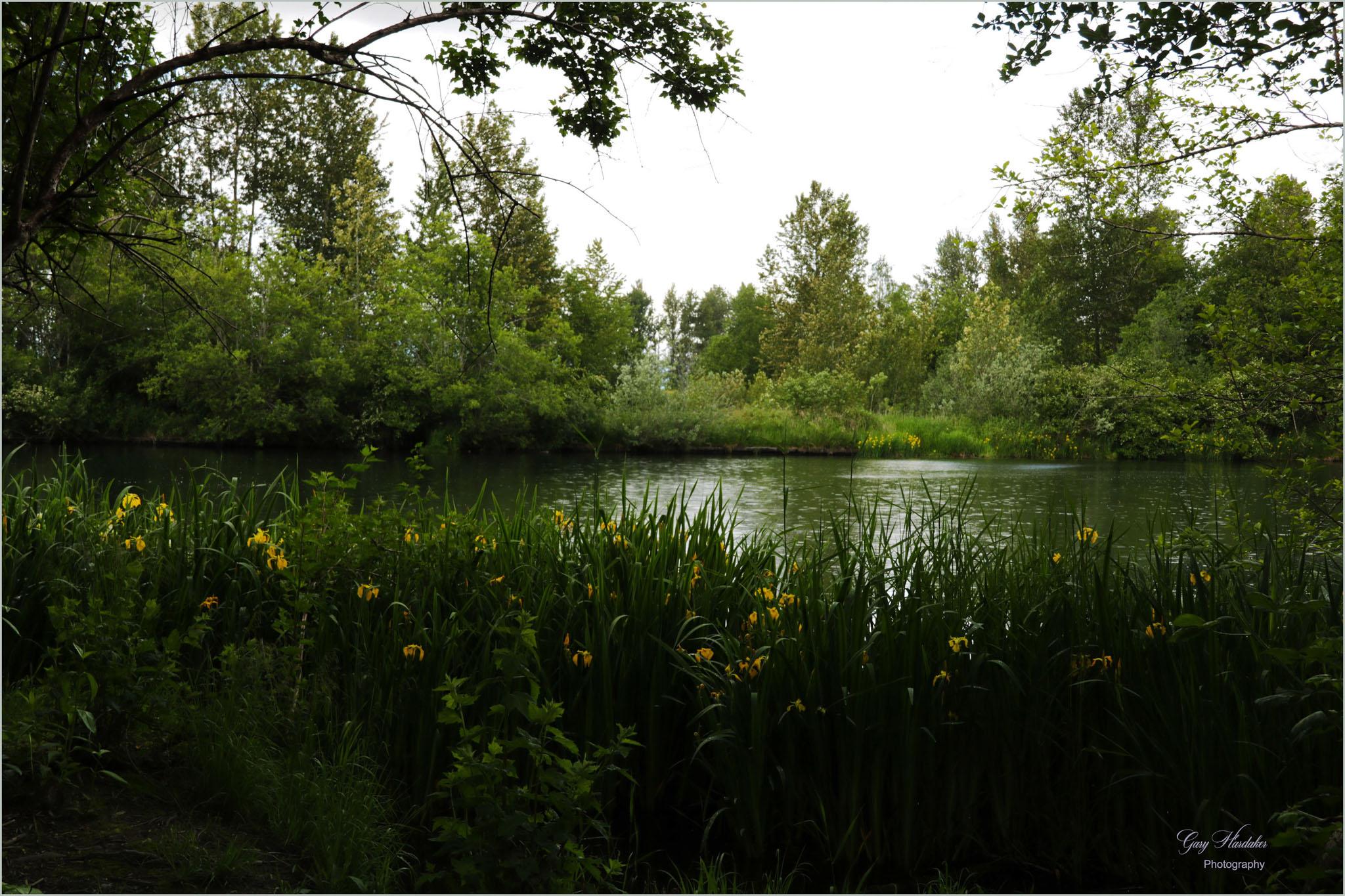 Slough (with yellow Irises) at Heron Sanctuary
