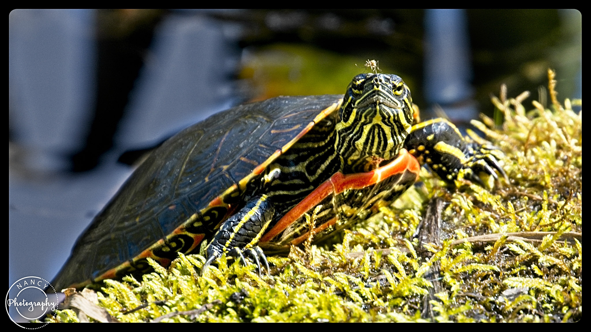 Western Painted Turtle - Nancy Cunningham