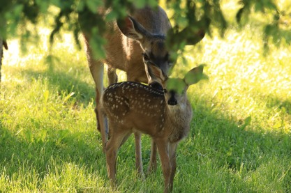 Fawn and Mother - Doug Boyce