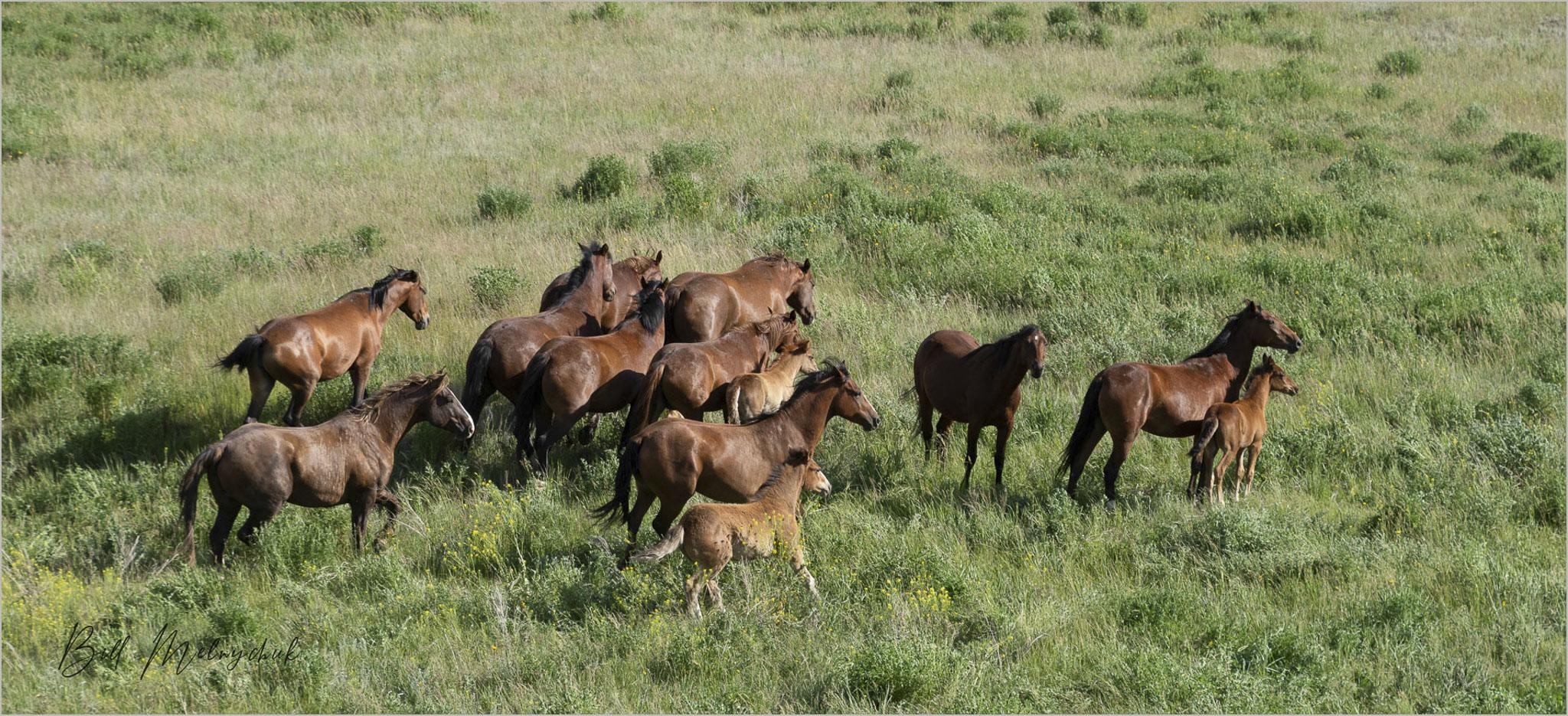 2006_WGP4256 - Feral Horses - Bill Melnychuk