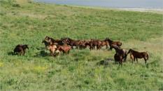 2006_WGP4258 - Feral Horses - Bill Melnychuk