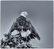 Bald Eagle Drying out - DMHopp