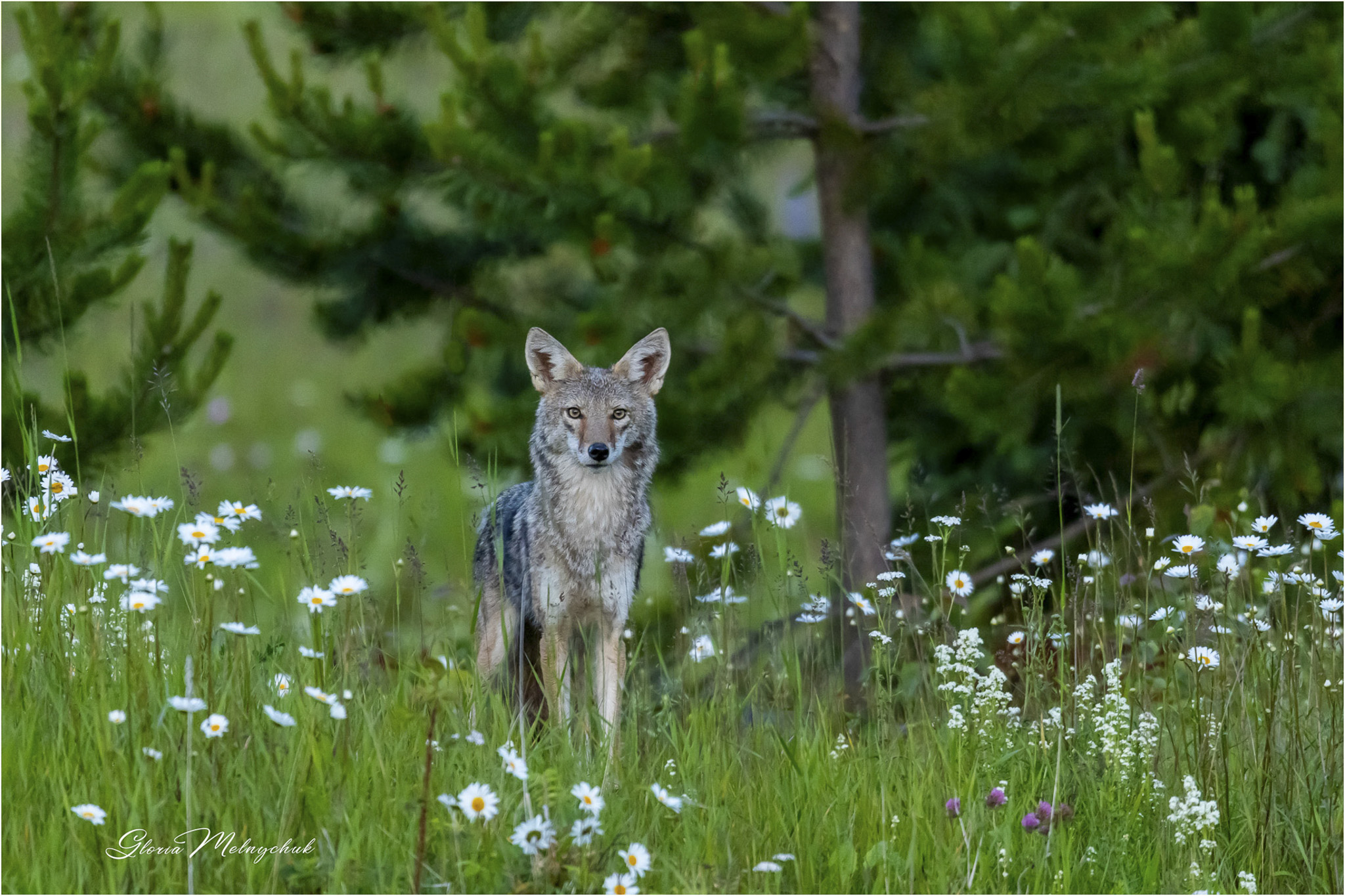 Coyote_GMP2418-34 - Gloria Melnychuk