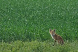 Fox - Kevin Haggkvist