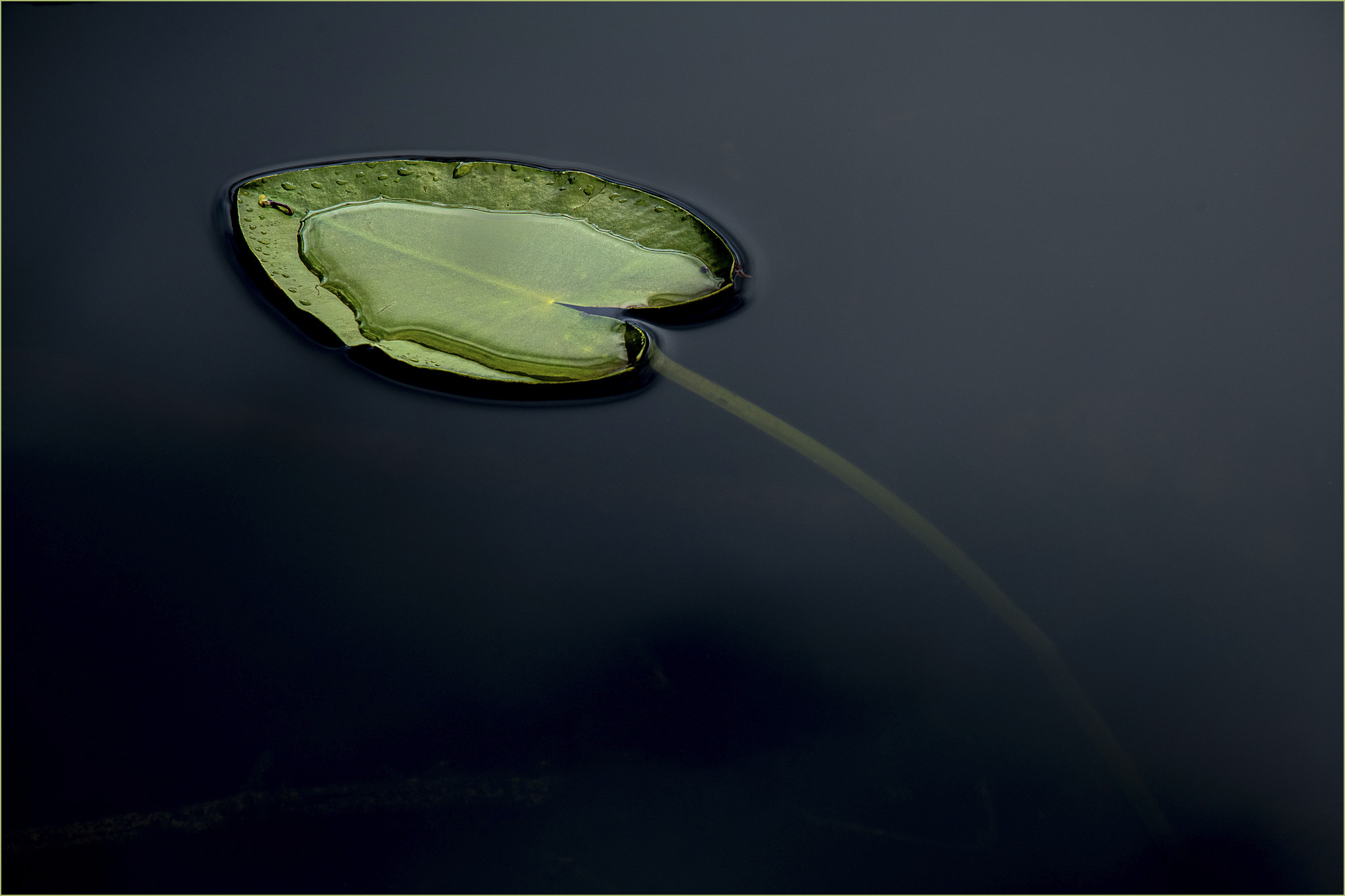 Lily Pad1 © Larry Citra_Stroked