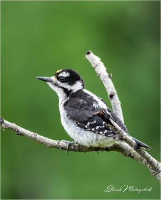 Male Juvenile Hairy Woodpecker - Gloria Melnychuk _GMP2350-02 - Notice that the red patch on the male juvenile Hairy Woodpecker is on his forehead.