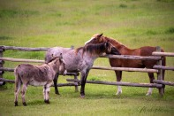 Monika Paterson_MHP5927 horses w donkey 108 edit wm
