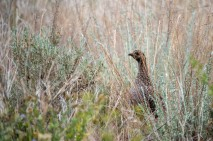 Monika Paterson_MHP6230 mama grouse in grasses wm