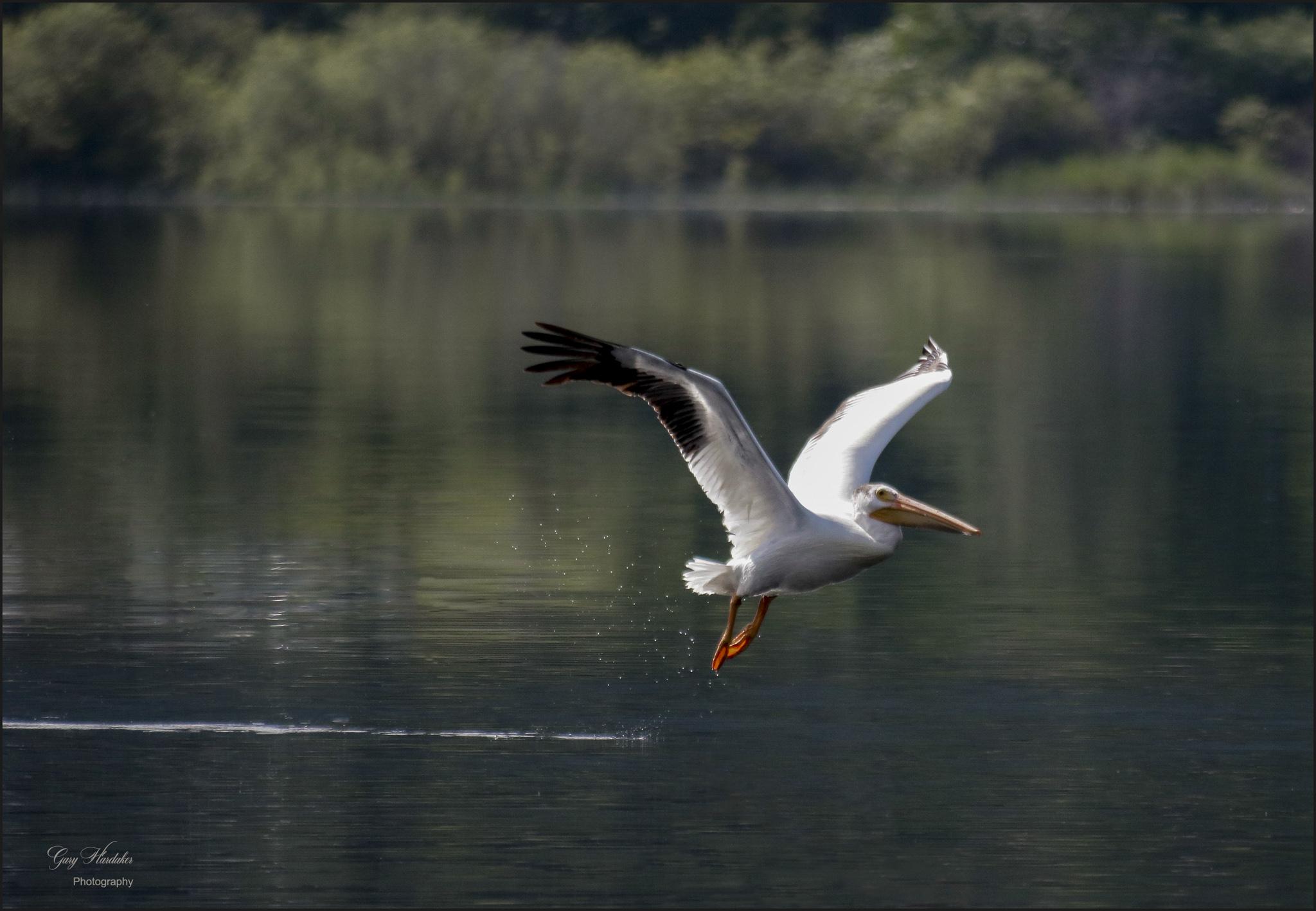 Pelican on take-off- Gary Hardaker