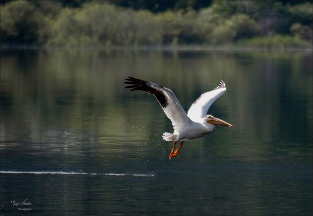 Pelican on take-off- Gary Hardaker