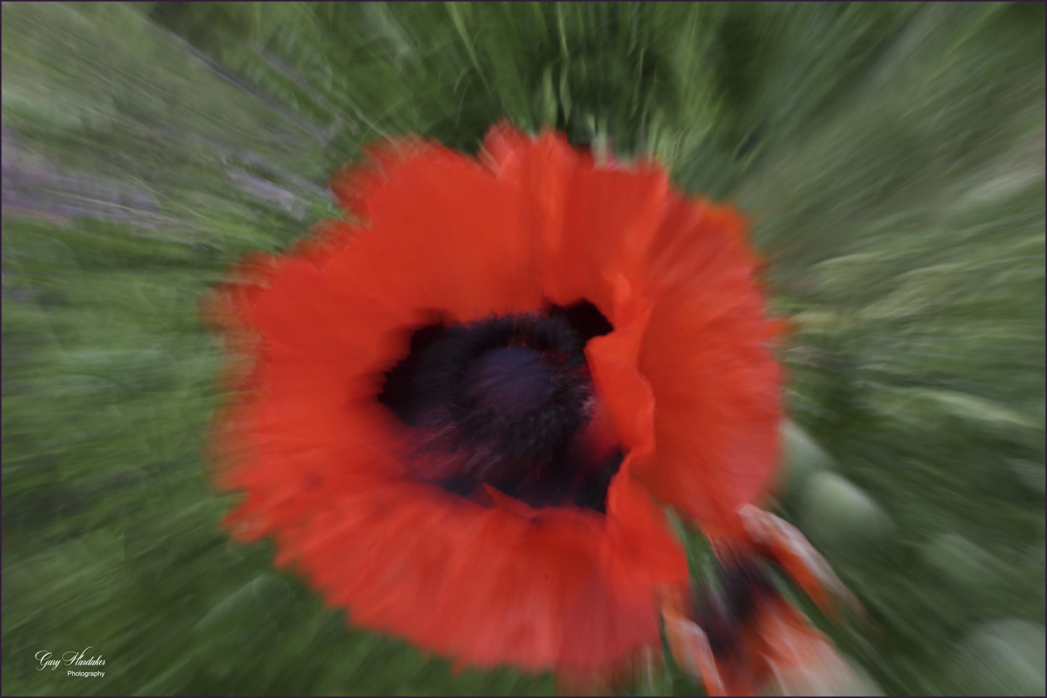 Poppy Pop-art- Gary Hardaker