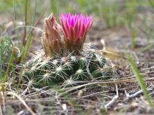 Flowering Cactus, Great Sand Hills, Saskatchewan - Kevin Haggkvist