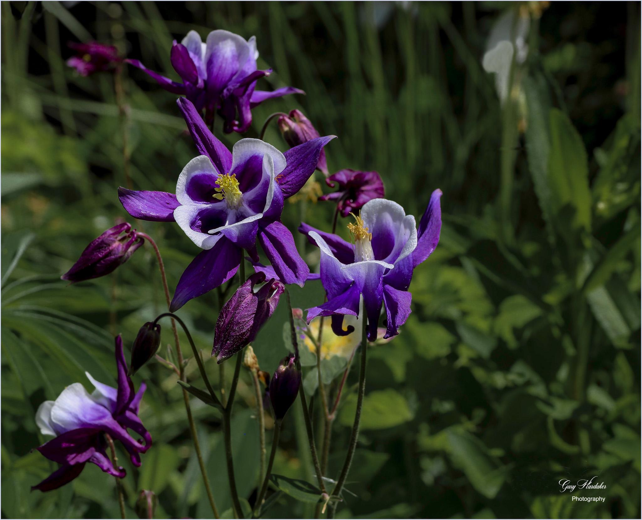 Purple Columbine- Gary Hardaker