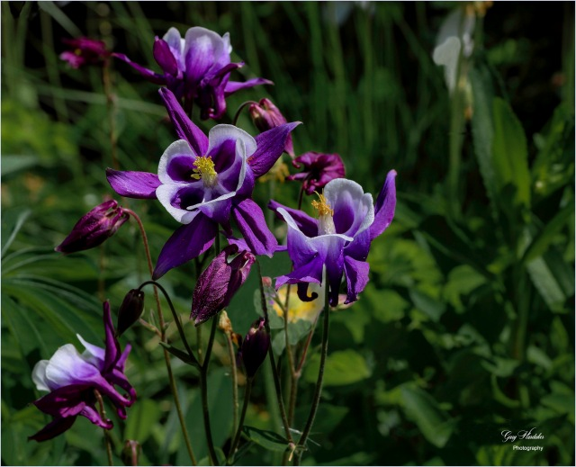 Purple Columbine- Gary Hardaker
