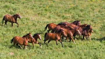Running his herd - Nancy Cunningham