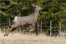 """Up, up and away - Gloria Melnychuk _WGP3461 - """"Up, up and away, Into the woods I go to play"""" ~ Mule Deer buck bounding away after visiting with Ben at the barn"""