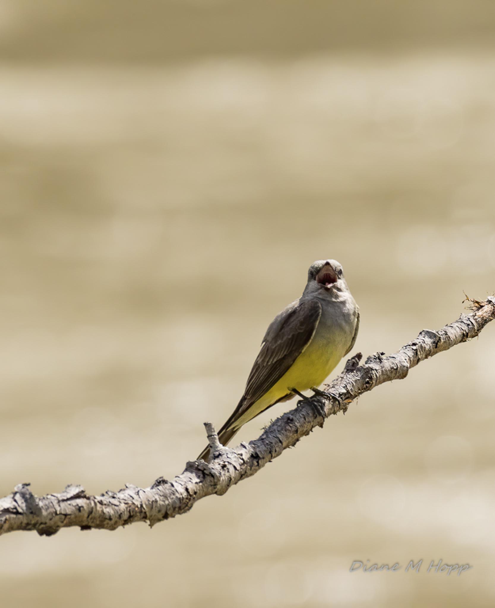 Western Kingbird - DMHopp-1