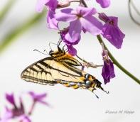 Western Swallowtail - DHopp