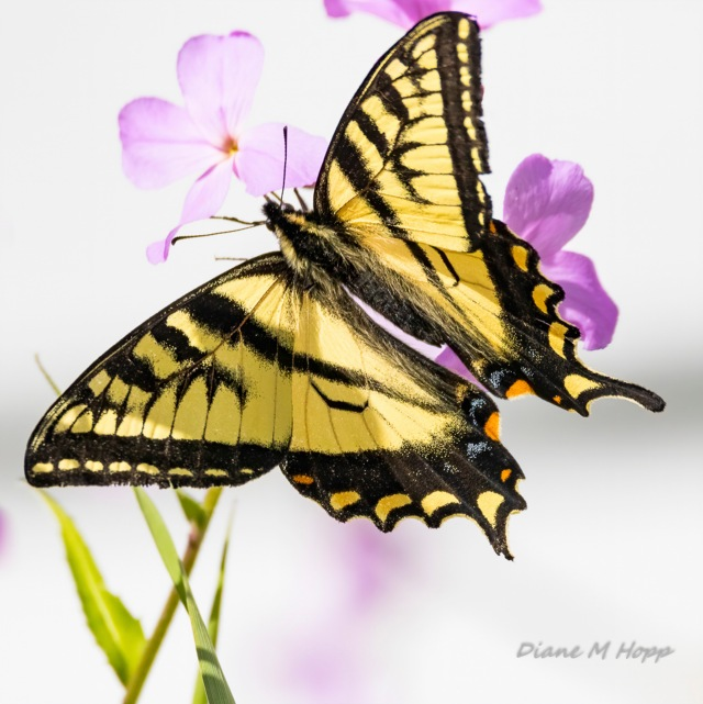 Western Swallowtail 2 - DHopp