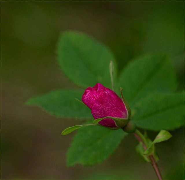 Wild Rose Bud1 © Larry Citra