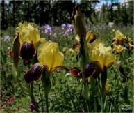 Yellow Irises- Gary Hardaker
