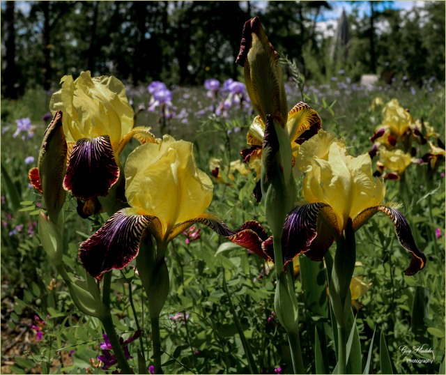 Yellow Irises- Gary Hardaker