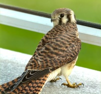 Kestral - Let Me out of Here - DMHopp