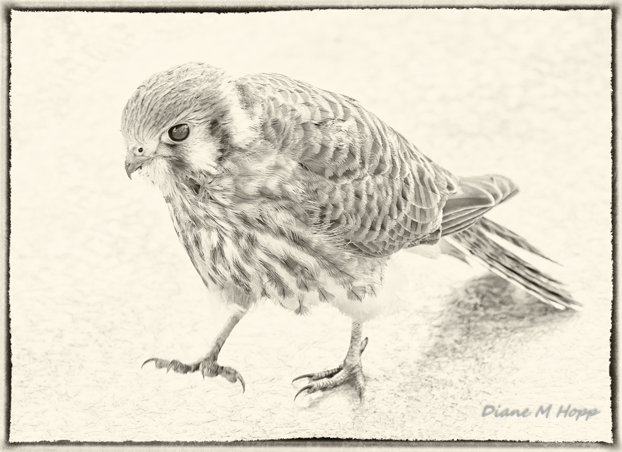Surprise Visitor - American Kestral on the Porch - DMHopp