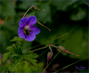 Bee pollinating Meadow Geranium- Gary Hardaker