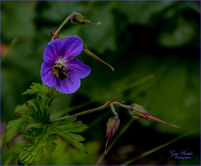 Bee pollinating Meadow Geranium- Gary Hardaker