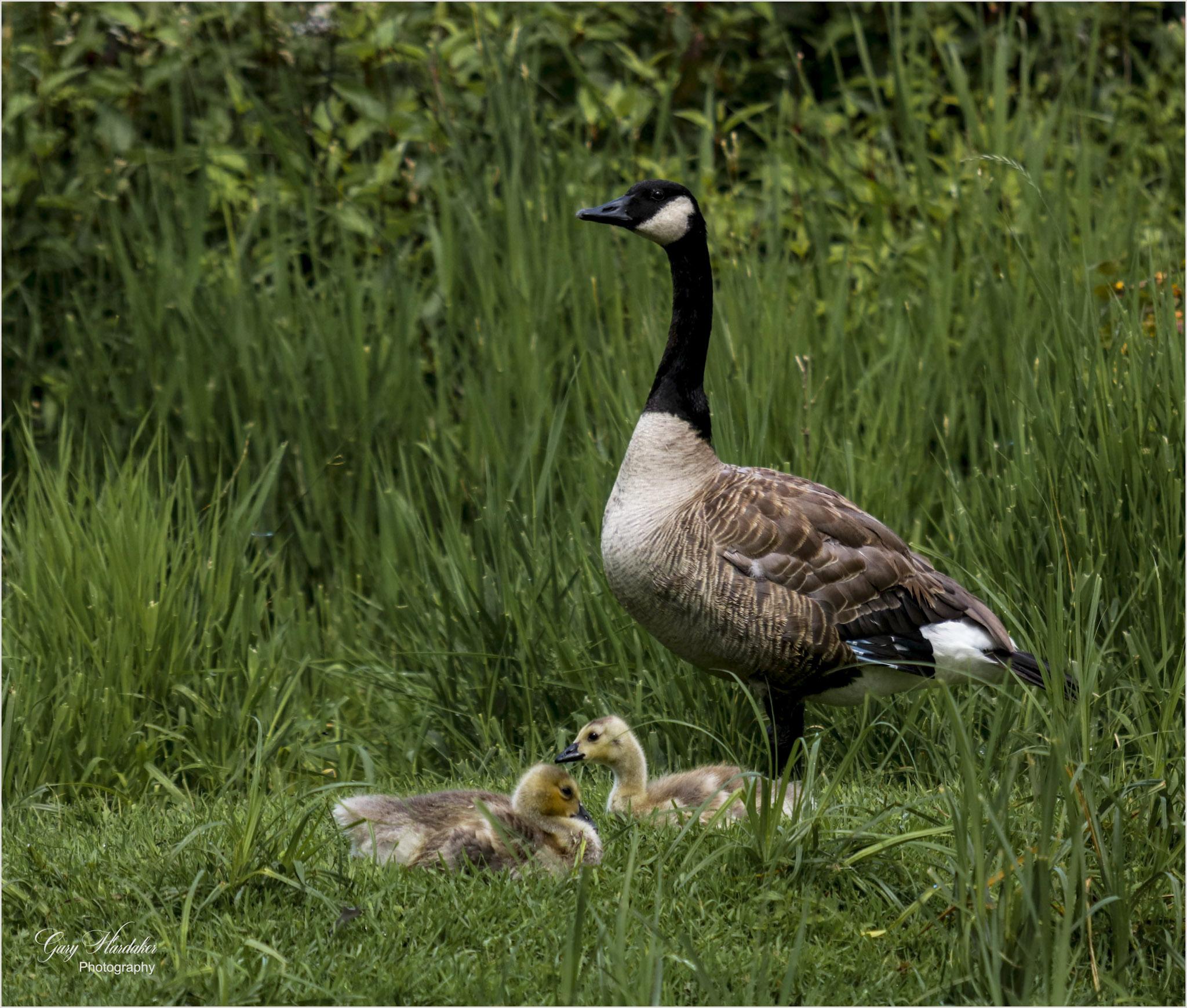 Canada Goose and Goslings- Gary Hardaker