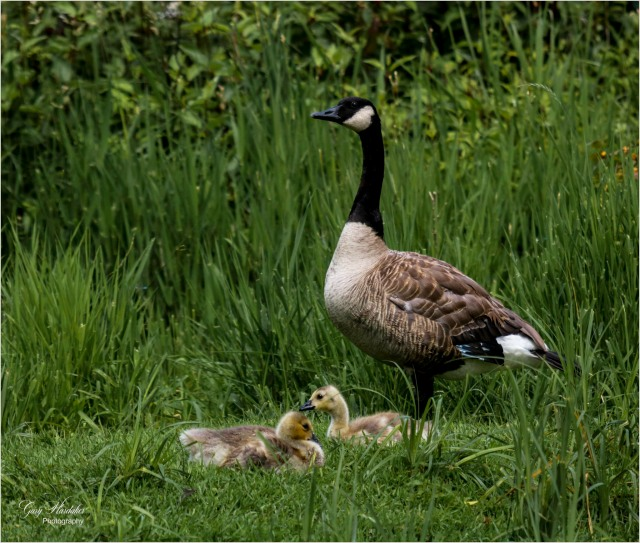 Canada Goose and Goslings- Gary Hardaker