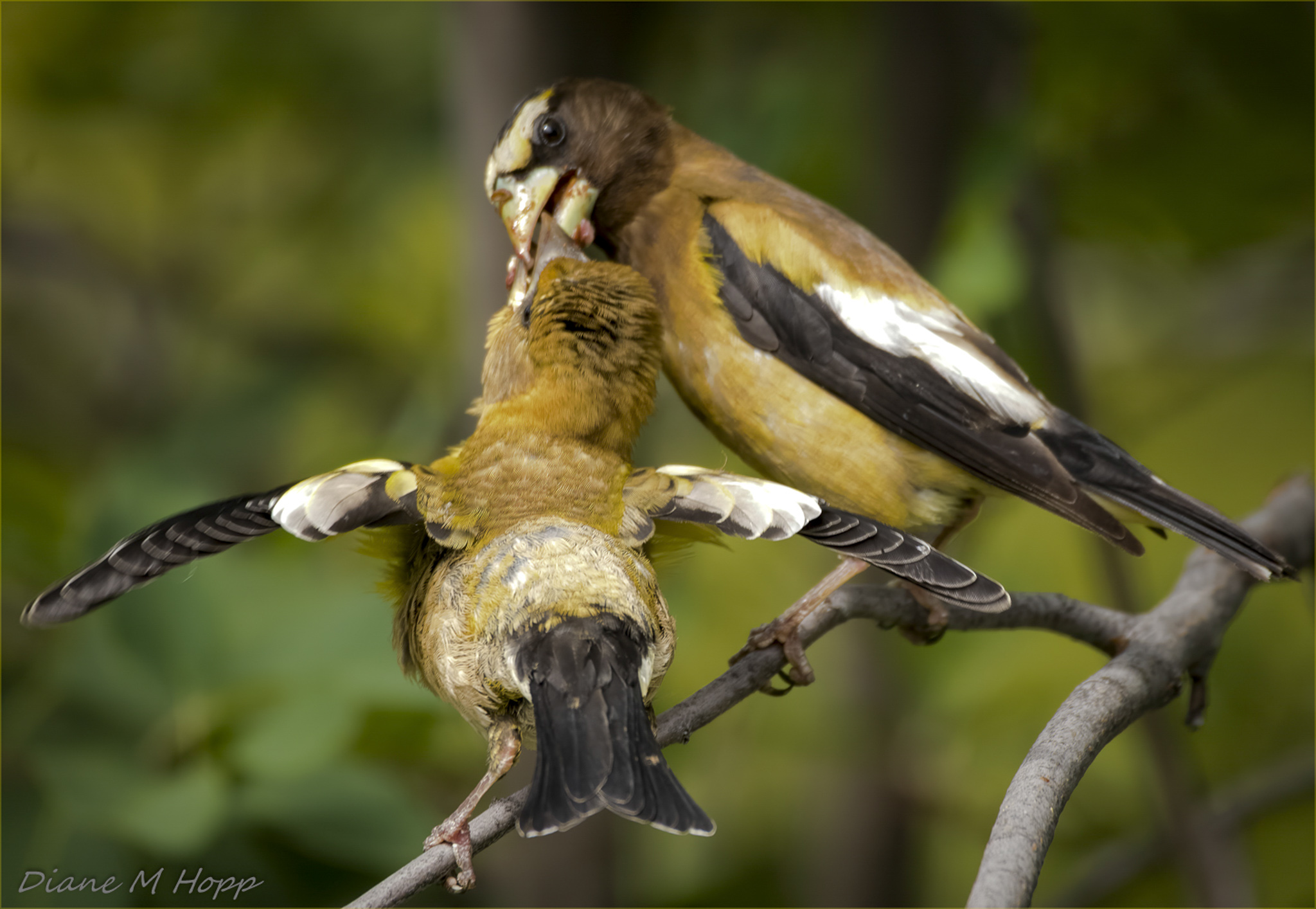 Evening Grosbeak Feeding Baby - DMHopp