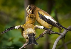 Evening Grosbeak Feeding Baby - DMHopp