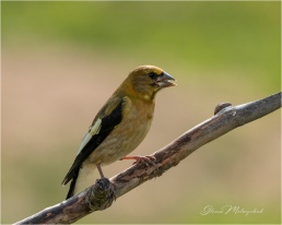 Evening Grosbeak_GMP2677-12 - Gloria Melnychuk
