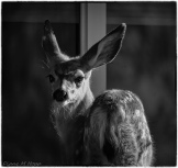 Fawn at the Window - DMHopp