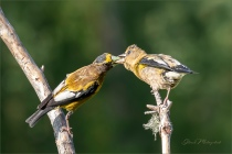 Learning and Love_GMP2717-92 - Gloria Melnychuk - Evening Grosbeaks, Cariboo