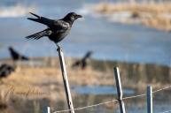 Bathed Crow on Post - Monika Paterson