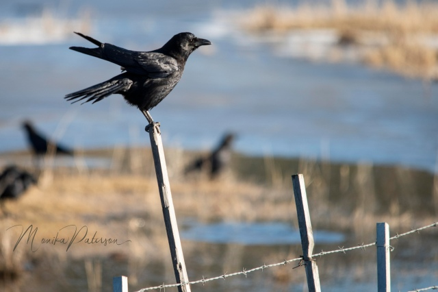 Bathed Crow on Post - Monika Paterson