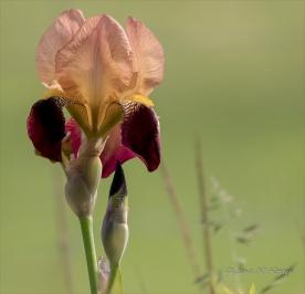 Morning Iris - DMHopp