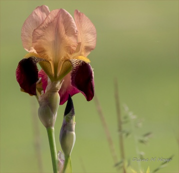 Morning Iris - DMHopp
