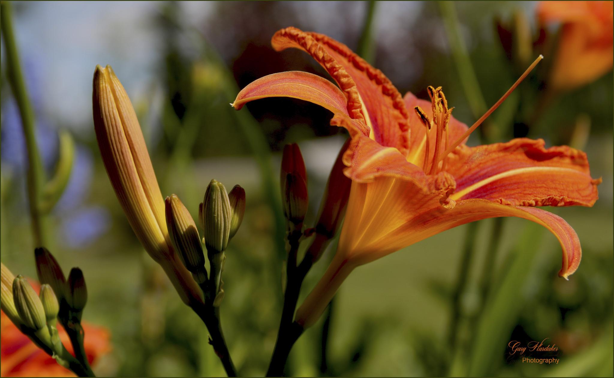 Orange Day Lily- Gary Hardaker