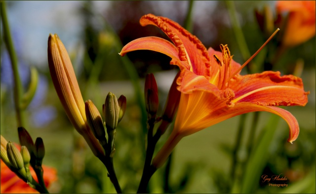 Orange Day Lily- Gary Hardaker