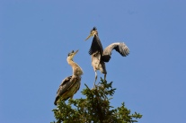 Battling Herons in the Treetop - Maureen Nelson
