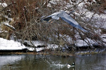 Great Blue Heron and Terrified Duck - Maureen Nelson