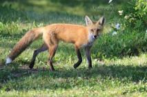 Red Fox Portrait - Doug Boyce